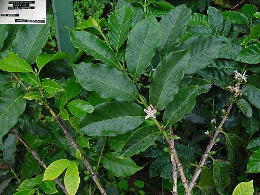 Kaffeepflanze Robusta