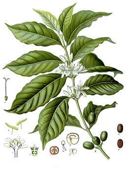 Kaffeestrauch: Zweig mit Blüthen und unreifen Früchten.