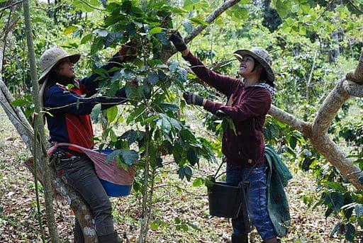 Erntehelferinnen bei der Kaffeeernte in Laos bei der Picking-Methode.