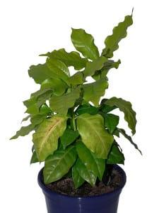 Kaffeepflanze als Zimmerpflanze züchten.