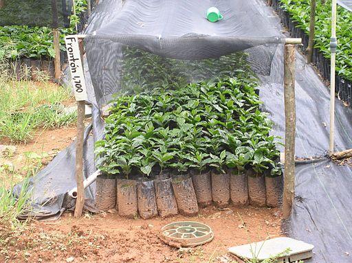 Kaffeepflanzen Setzlinge im sogenannten Kinderbett in Puerto Rico. Keine Holzkiste aber trotzdem ein gemütliches Plätzchen für die Setzlinge.