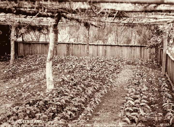 Setzlinge auf Kaffeeplantage um 1899 in Queensland.